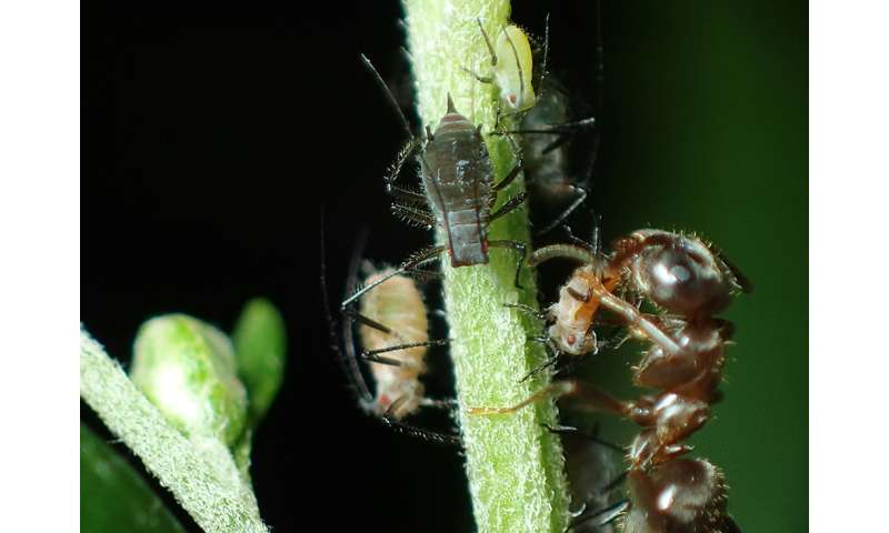 Picky ants maintain color polymorphism of bugs they work with