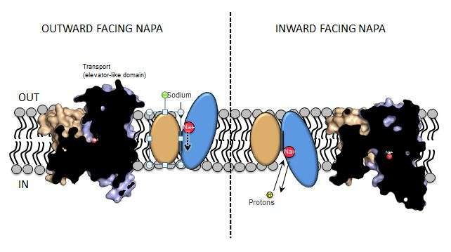 Piecing together the cells elevator-like mechanism for sodium