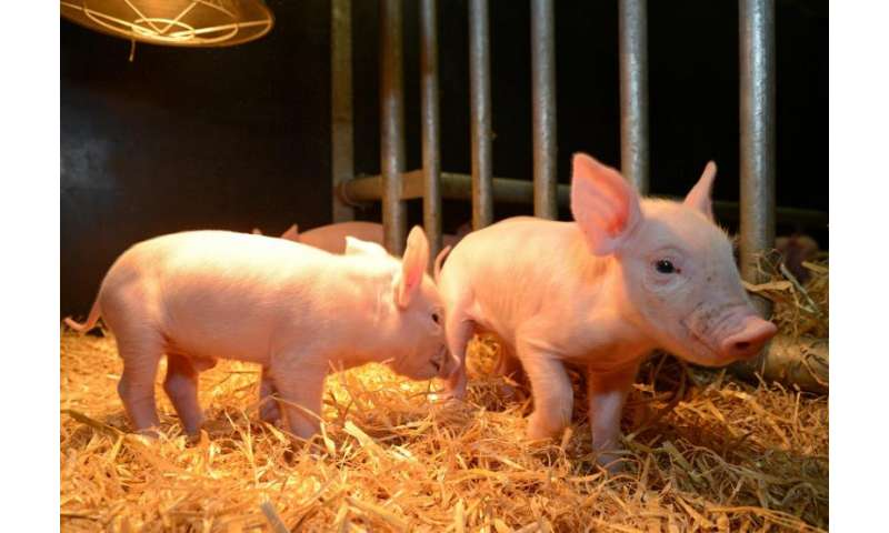 Pigs' genetic code altered in bid to tackle deadly virus
