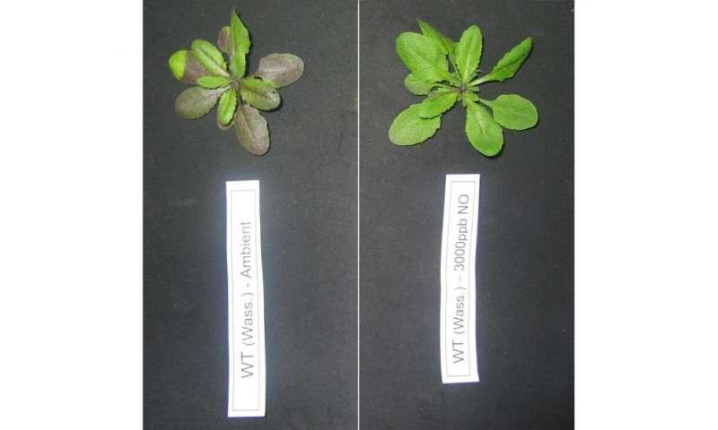 Plant hemoglobin proteins help arabidopsis thaliana plants fix atmospheric nitric oxide