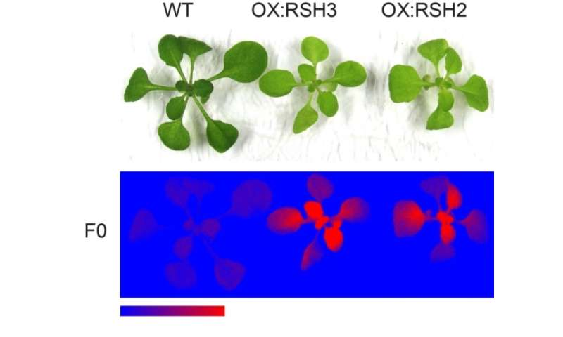 Plant photosynthesis inhibited by bacterial ancestor