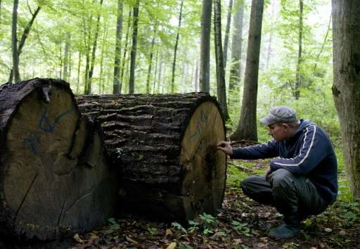 Poland's environment ministry last month gave the go ahead for large-scale logging in the Bialowieza forest—despite protests fro