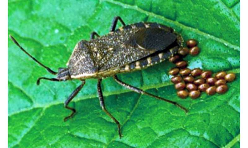 Preventative measures can help to control squash bugs