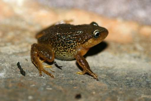 Pristimantis macrummendozai frog was discovered in the Iguaque Merchan paramos, Colombia's East Andes