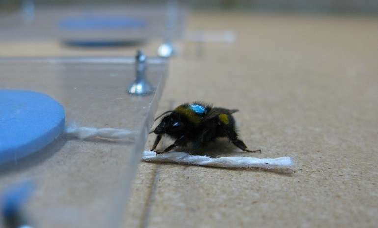 Problem-solving spreads both socially and culturally in bumblebees
