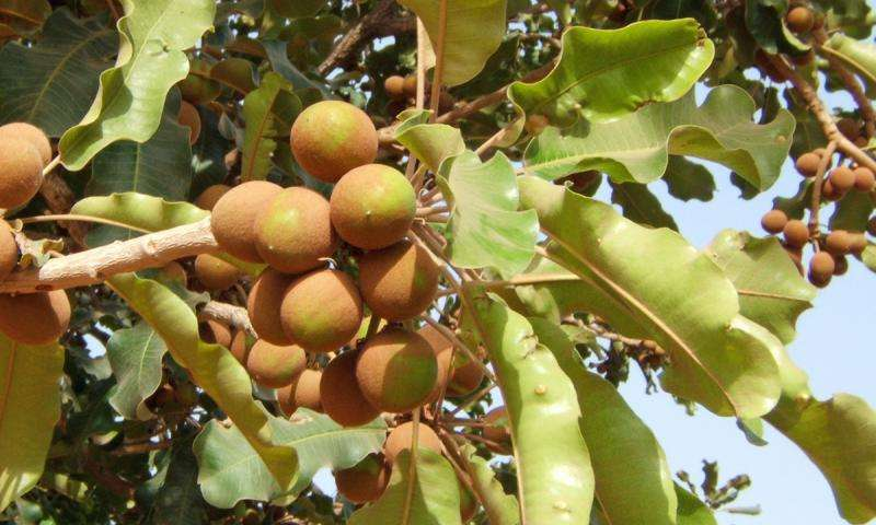 Production of butter from shea trees in West Africa pushed back 1,000 years