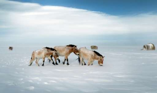 Przewalski horses on a snow covered field in the Orenburg Reserves, a cluster of six nature reserves near the border with Kazakh
