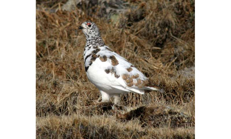 Ptarmigan in Colorado have varied reproduction, not likely linked to warming trends