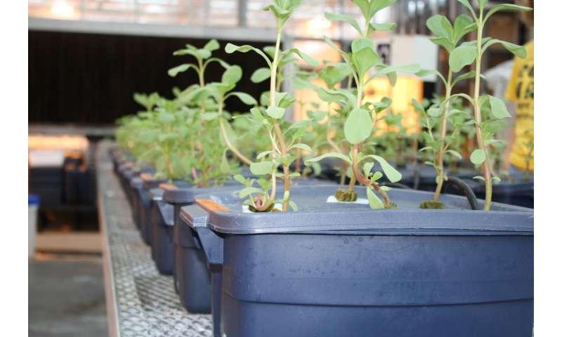 Purslane production practices enhance nutritional value
