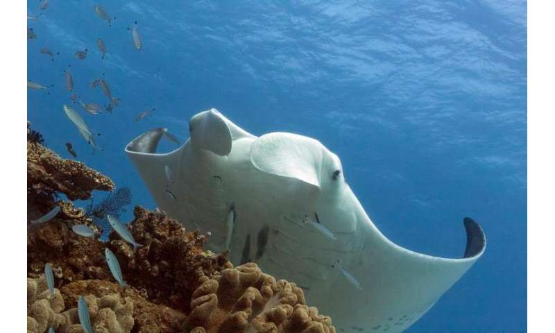 Queensland rays could pose toxic Asian medicine risk