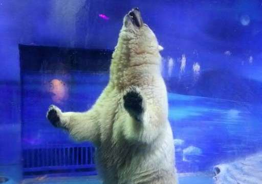 """""""Pizza"""" the polar bear stands up inside his enclosure at the Grandview Mall Aquarium in the southern Chinese city of G"""