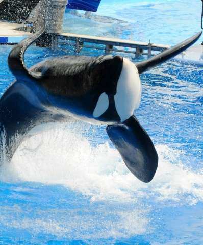 """""""Tilikum"""" appears during a performance at Sea World on March 30, 2011 in Orlando, Florida"""
