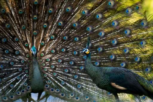 Rampant poaching and habitat loss under decades of military rule have slashed Myanmar's peacock population