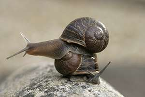 Rare, lonely 'lefty' snail seeks mate for love—and genetic study
