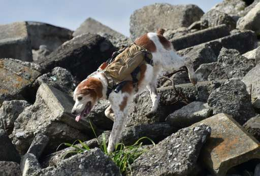 Rescue dog Gonta, wearing a backpack providing a live video feed and GPS data for rescuers, search for survivors during a traini