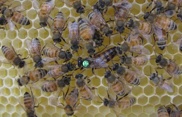 Research affords undergraduate student closer look at honey bees