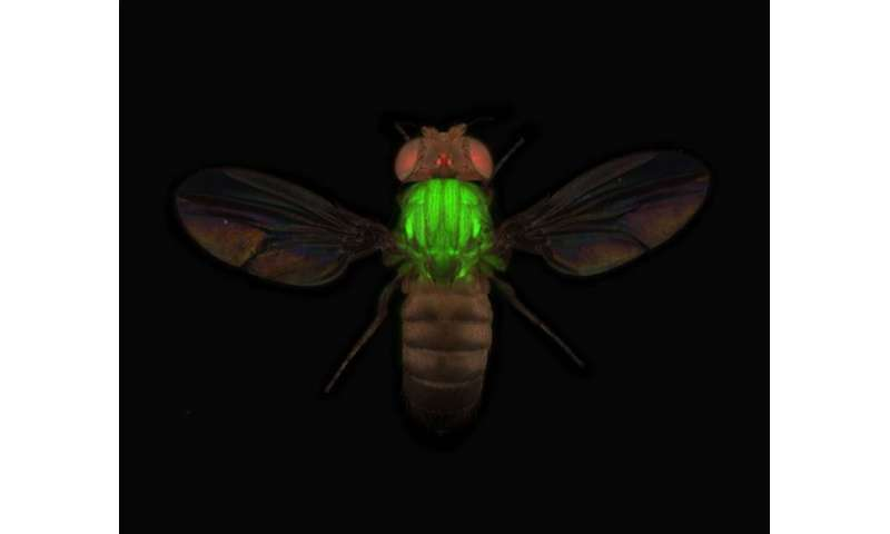 Researchers visualize over 10,000 proteins of fruit flies