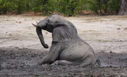 Research to keep elephants in captivity on their feet