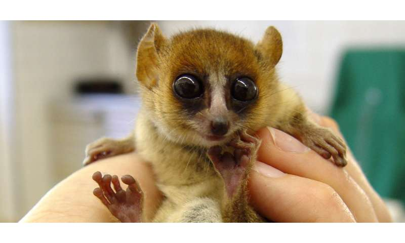 Ridiculously cute mouse lemurs hold key to Madagascar's past