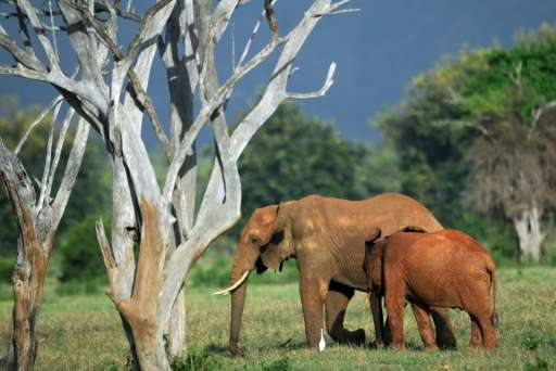 Savanna elephants have declined at a rate of 27,000—or eight percent—per year, with a total of 144,000 lost in less than a decad