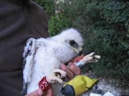 Saving two endangered adult Bonelli's eagles per year could prevent species loss
