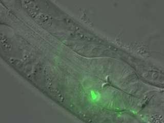 Scientists learn how young brains form lifelong memories by studying worms' food choices
