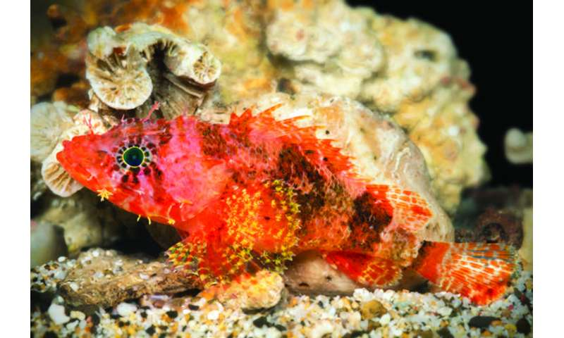 Scorpionfish too deep for SCUBA divers caught by submersible turns out to be a new species