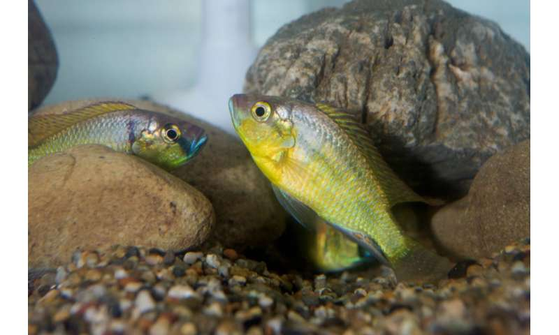 Selective expression of genes through epigenetics can regulate the social status of african cichlid fish