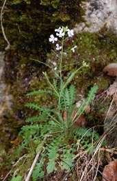 Serpentine plants survive harsh soils thanks to borrowed genes