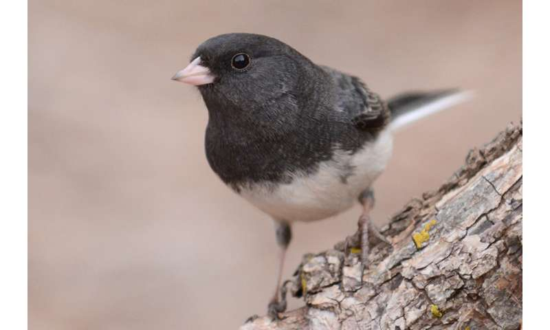 Shorter telomeres reveal stress in migratory birds