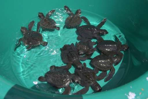 Six of the world's seven turtle species can be found in Indonesia, an archipelago of more than 17,000 islands that is home to a