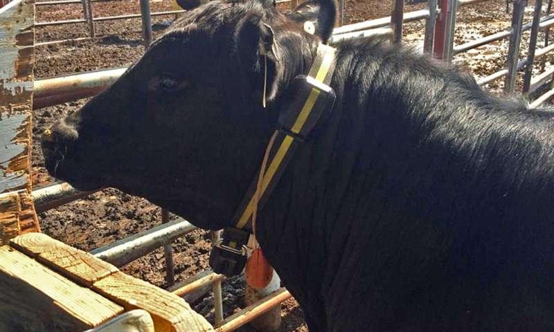 beef cattle veterinarian dr - 678×381