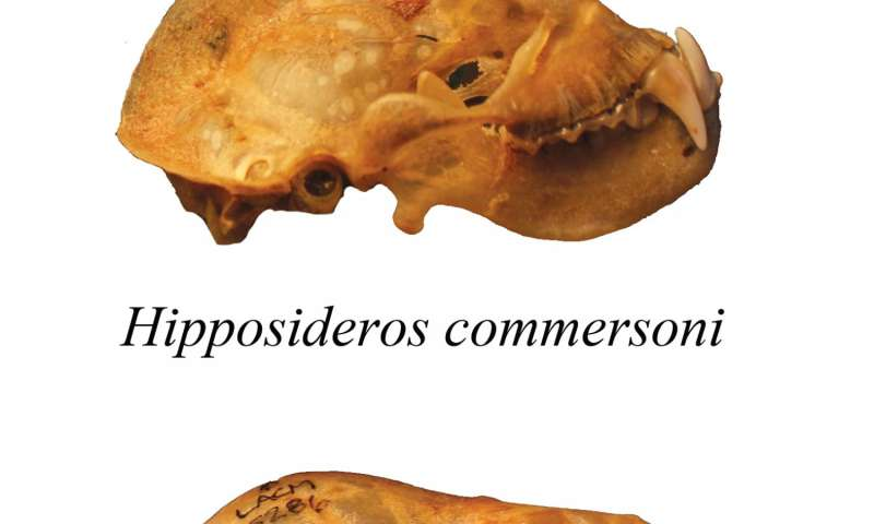 Skull specializations allow bats to feast on their fellow vertebrates
