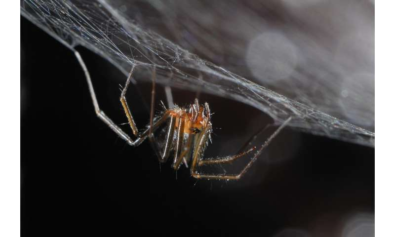 Species conservation profile of a critically endangered endemic for the Azores spider