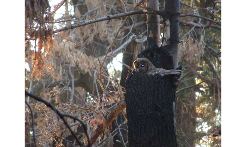 Spotted Owl in nest in severely burned forest in southern California.