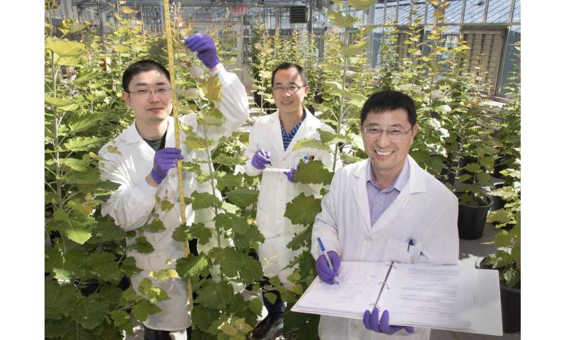 Study shows trees with altered lignin are better for biofuels