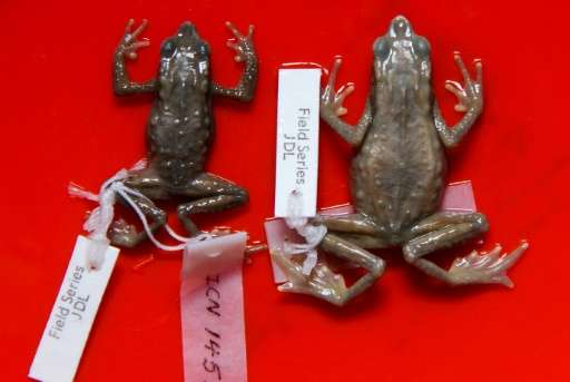 "Stuffed ""Atelopus Farci"" frogs, named after the Farc guerilla fighters, at the National University of Colombia, in Bog"