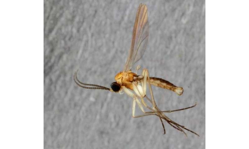 Surprising exotic flies in the backyard: New gnat species from Museum Koenig's garden