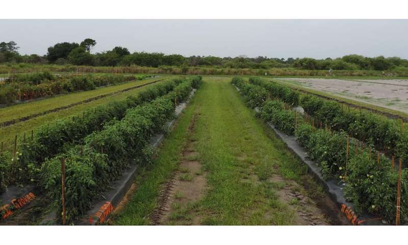 Sustainable alternative to methyl bromide for tomato production