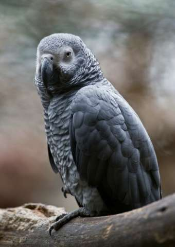 "The African grey parrot will now have ""the highest level of protection"""