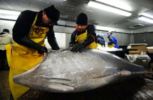The Atlantic bluefin can grow up to four metres (13 feet) in length and isa highly sought-after and expensive delicacy, with on
