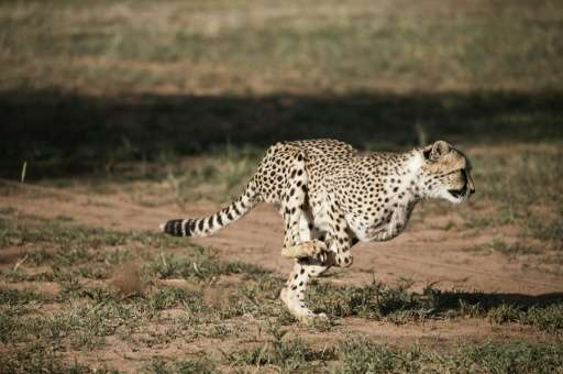 The Cheetah Conservation Fund in Otjiwarongo, Namibia, founded by Laurie Marker in 1990, is dedicated to saving the cheetah in t
