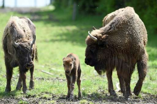 The European bison, the continent's largest wild land mammal, once roamed across most of the continent but it was severely hunte