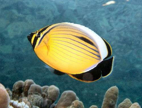 The first genome of a coral reef fish