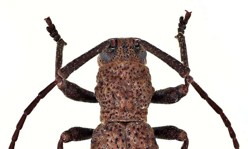 The first long-horned beetle giving birth to live young discovered in Borneo