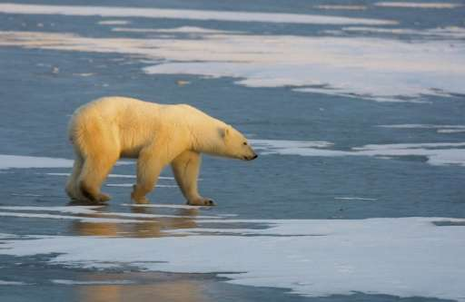 The global population of polar bears—scientific name Ursus maritimus—is estimated at about 25,000, according to a study