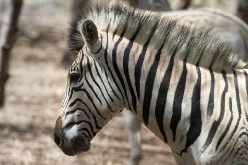 The last of the original quagga Zebra, found only in South Africa's Western Cape region, died in an Amsterdam zoo in 1883