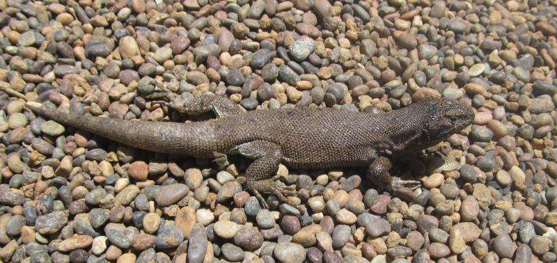 The lizard of consistency: New iguana species which sticks to its colors found in Chile