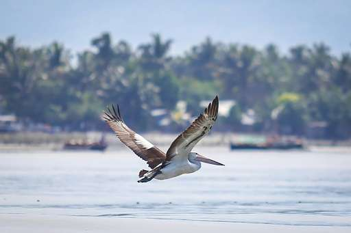 The mostly white pelican—a species which boasts the longest bill of any bird, measuring up to 47 centimetres (18.5 inches)—has s
