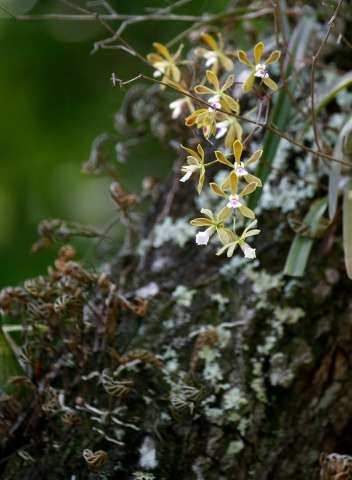 The native Florida Butterfly Orchid blooms on the grounds at Fairchild Tropical Gardens in Miami